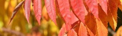 Herbstlaub am Baum