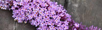 Kleine violette Blüten